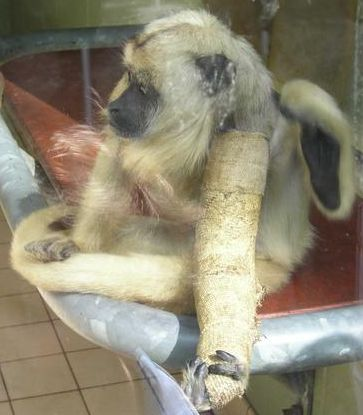 Monkey in a cast with bone fracture